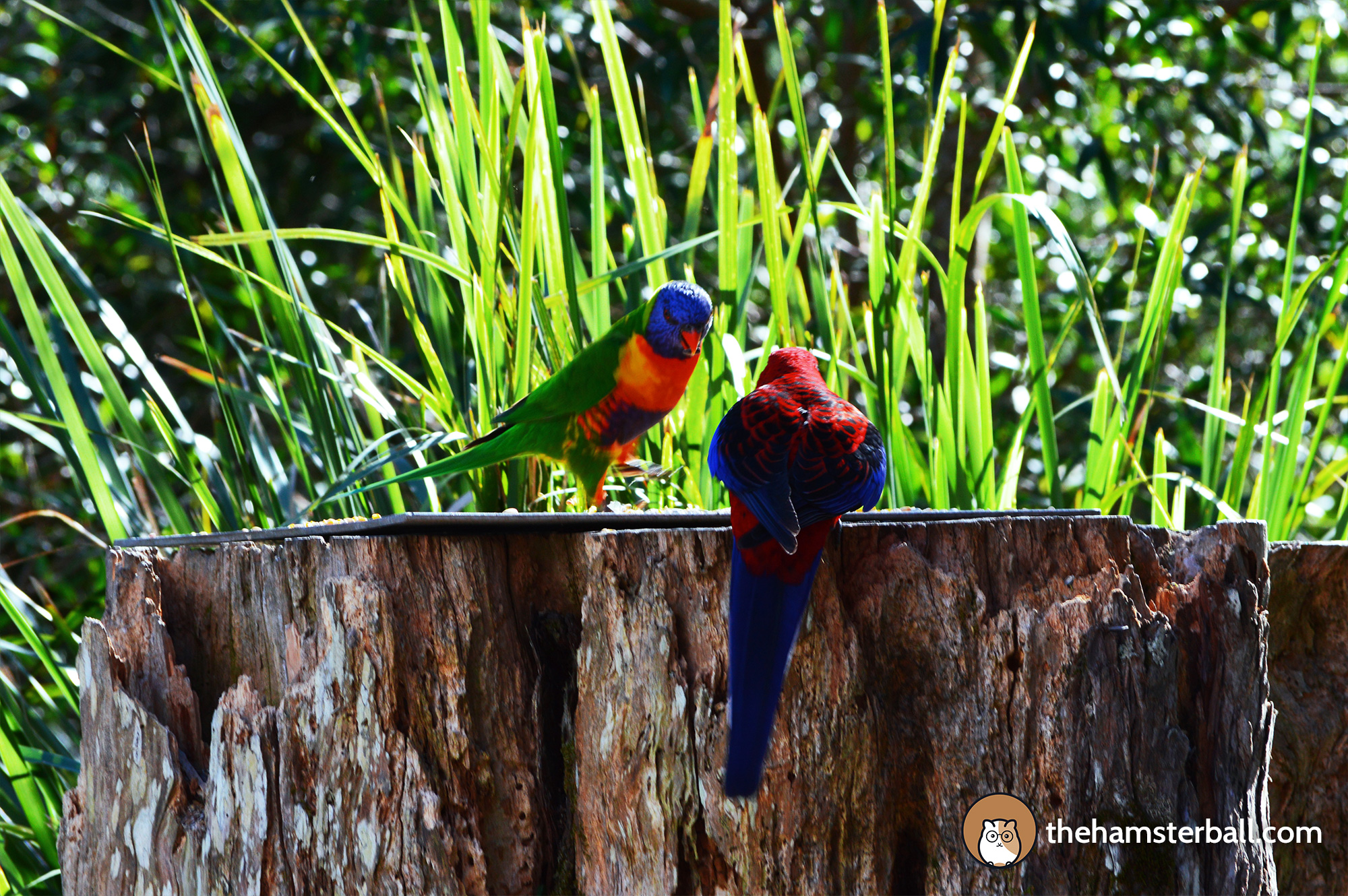 The Fudge Shop, Springbrook, cockatoos, environment, nature, crimson rosella, pale headed rosella, rainbow lorikeet