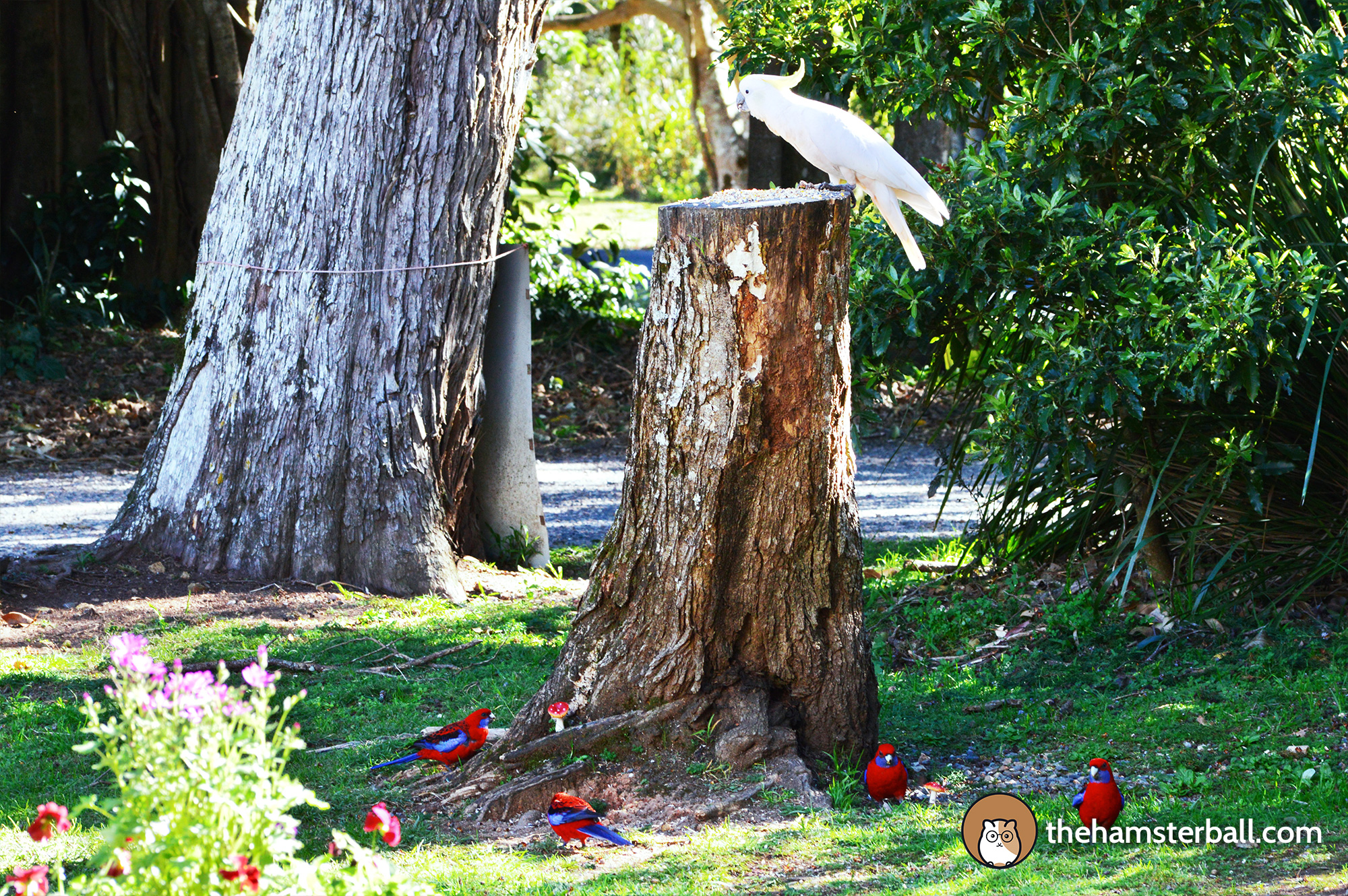 The Fudge Shop, Springbrook, cockatoos, environment, nature, crimson rosella