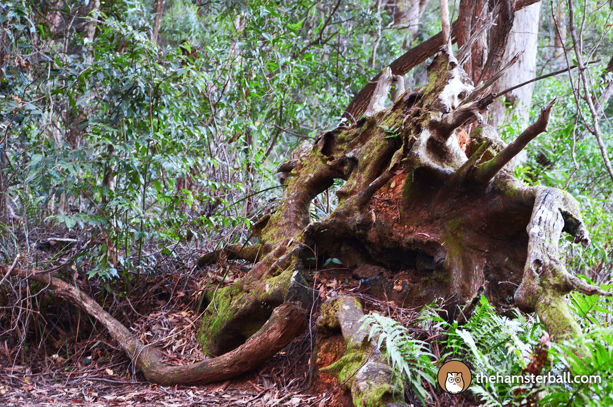 Warrie Circuit, Springbrook, Gondwana Forest, World Heritage, Lifespan