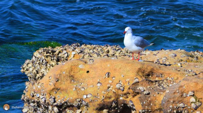 Seagull, royal botanic Garden, Sydney