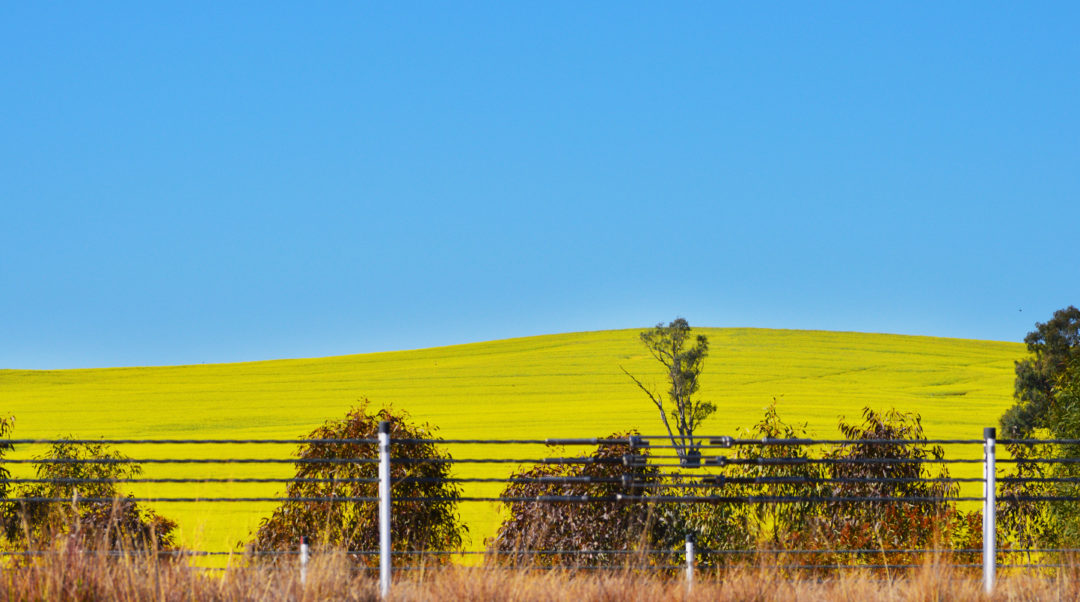 yellow canola field, melbourne australia