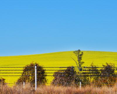 yellow canola field, melbourne australia